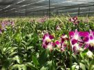 Call for help as orchid export industry wilts badly