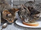 Can Pet Cats Eat Peanut Butter Safely? Is it Healthy for Them?